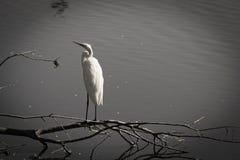 Héron blanc 06 Image libre de droits
