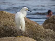 Héron blanc Photographie stock libre de droits