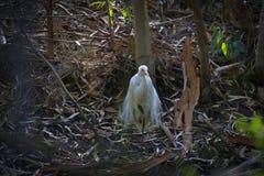 Héron blanc 10 Photo stock