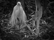 Héron blanc 11 Photos libres de droits
