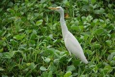 Héron blanc Image libre de droits