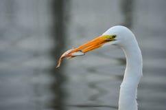 Héron blanc avec un poisson Photo libre de droits