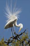 Héron blanc dans le plumage d'élevage Photos stock
