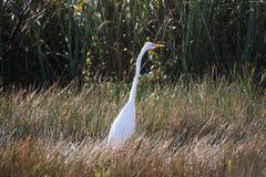 Héron blanc dans les marais de la Floride image stock
