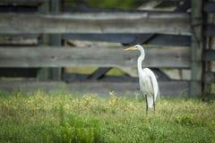 Héron blanc dans un domaine Photo libre de droits