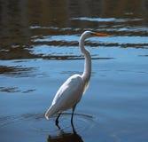 Héron blanc de la Floride Photographie stock libre de droits