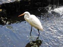 Héron blanc de plan rapproché pataugeant dans un lac Images libres de droits