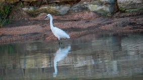 Héron blanc en eau de rivière peu profonde images stock