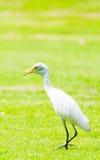 Héron blanc en parc Photo libre de droits