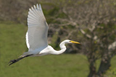 Héron blanc en vol Images libres de droits
