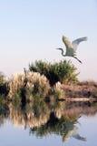 Héron blanc en vol Photographie stock