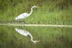 Héron blanc et réflexion dans l'étang Photos libres de droits