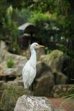 Héron blanc grand Photos libres de droits