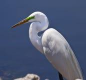 Héron blanc grand au bord de l'eau Photographie stock libre de droits