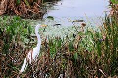 Héron blanc grand dans les marécages Photos stock