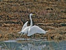 Héron blanc grand (Egretta alba) Photos stock