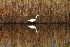 Héron blanc pataugeant dans un marais Image libre de droits