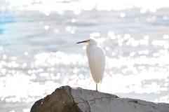 Héron blanc près d'océan Photographie stock