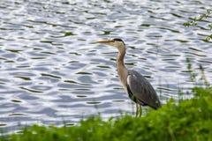 Héron blanc près de lac Images libres de droits