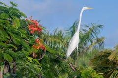 Héron blanc, République Dominicaine  Image libre de droits