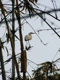 Héron blanc se reposant sur un bambou photographie stock libre de droits