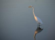Héron blanc se tenant dans la lumière Photo libre de droits