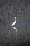 Héron blanc se tenant dans la réflexion de terres humides Image stock