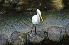 Héron blanc sur la rivière Images libres de droits