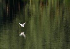 Héron blanc volant au-dessus de l'eau Photographie stock libre de droits