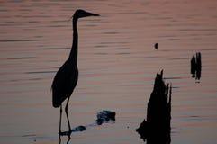 Héron bleu au coucher du soleil Photographie stock libre de droits