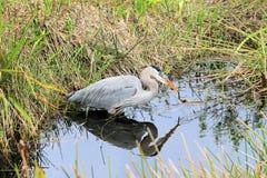Héron bleu en parc national de marais Photographie stock