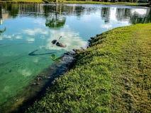 Héron bleu en vol Photos libres de droits