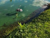 Héron bleu en vol Photographie stock libre de droits