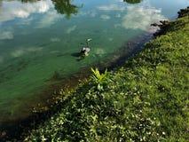 Héron bleu en vol Photo libre de droits
