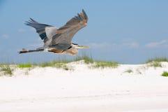 Héron bleu en vol Images stock