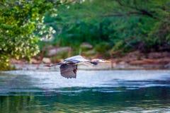 Héron bleu en vol Image libre de droits