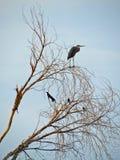 Héron bleu et oiseaux noirs Image libre de droits