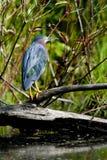 Héron bleu juvénile image libre de droits