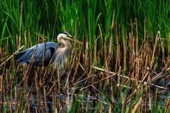 Héron bleu recherchant des grenouilles Images libres de droits