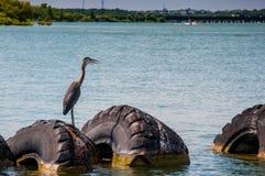 Héron bleu sur des pneus photo libre de droits