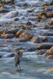 Héron bleu, Washington State Photo stock