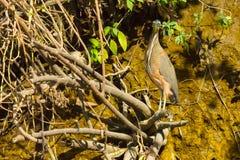 Héron Costa Rica de tigre photos stock