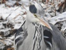 Héron d'oiseau Images libres de droits