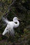 Héron dans le plumage d'élevage Photographie stock libre de droits
