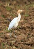Héron de bétail blanc Image stock