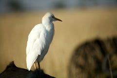 Héron de bétail blanc Photographie stock