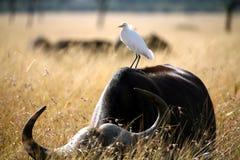 Héron de bétail blanc Image libre de droits
