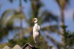 Héron de bétail/héron bétail d'oiseau Images stock