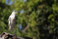 Héron de bétail/héron bétail d'oiseau Image libre de droits