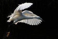 Héron de blanc grand Photos libres de droits
